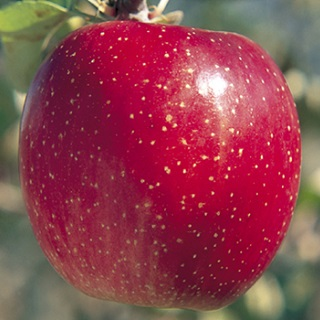 【JA全農いわて】江刺りんご ご予約販売のご案内